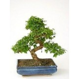 Bonsai - Ligustrum Chinês 10 anos