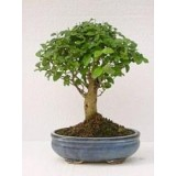 Bonsai - Ligustrum Chinês 5 anos